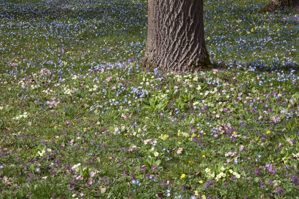 Verwilderte Frühingsblumen im Frühling