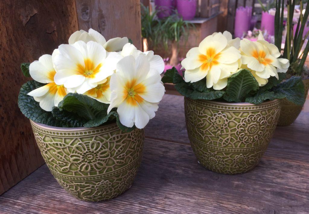 Primeln - bunte Frühlingsblumen